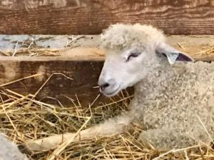 The most perfectly curly-haired sheep is sleepily lying in hay, one foreleg outstretched.